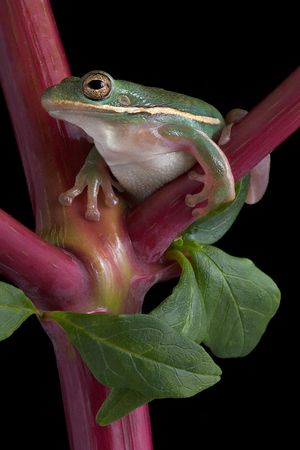 A green tree frog is perched on a branch of pokeweed. Stock Photo - 5630710