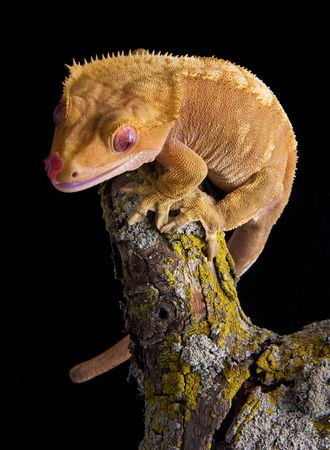crested gecko: A crested gecko is sitting on top of a branch. Stock Photo