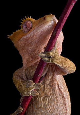 crested gecko: A crested gecko is shown from underneath. Stock Photo