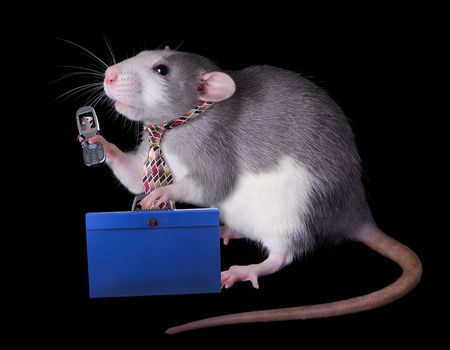 A rat businessman is talking on a cell phone to an associate on his way to work.