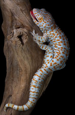 A tokay gecko is opening his mouth in a threatening gesture. Stock Photo - 6475972