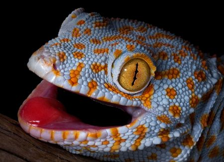 A tokay gecko is opening his mouth in a threatening gesture. photo