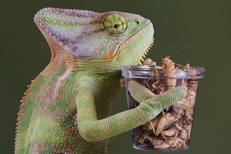 A veiled chameleon is holding a container of crickets for his lunch. Stock Photo - 6894946