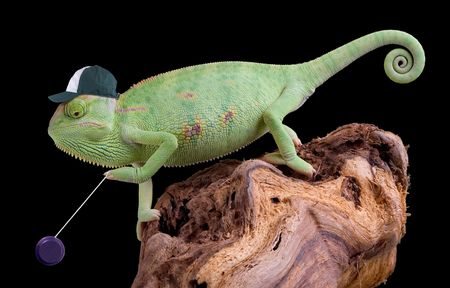 A veiled chameleon is playing with his yoyo. Stock Photo - 6894945