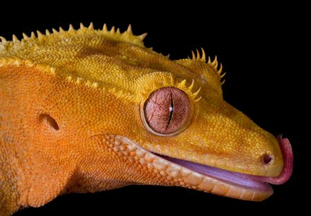 A crested gecko is shown close-up licking her lips.