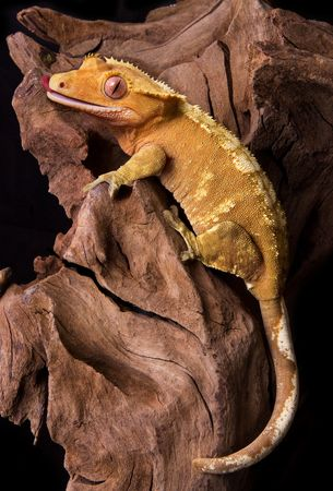 crested gecko: A crested gecko is climbing on some petrified wood.