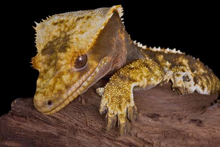 crested gecko: A crested gecko is resting on some driftwood.