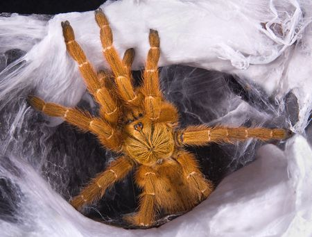 An OBT tarantula is coming out of her web. Stock Photo - 6894955