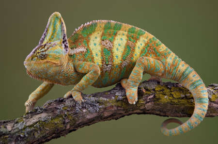 A veiled chameleon is walking on a tree branch.