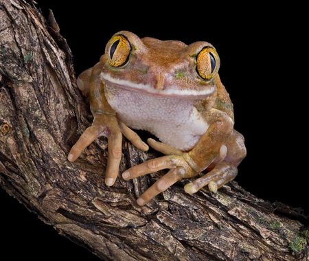 appears: A big-eyed tree frog appears to have hands like a human.