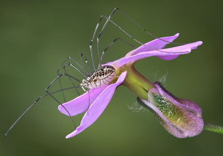 daddy long legs: A daddy long legs is sitting on a pink flower.