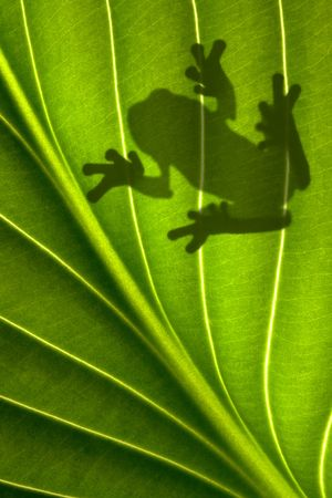 A tree frog is sitting on a backlit leaf that is shot from underneath. Only his shadow is showing. Stock Photo