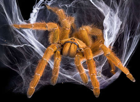 An OBT tarantula is crawling out of her web.