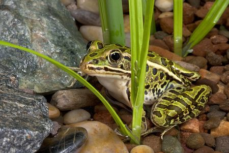 A leopard frog is sitting in a shallow pond. Stock Photo