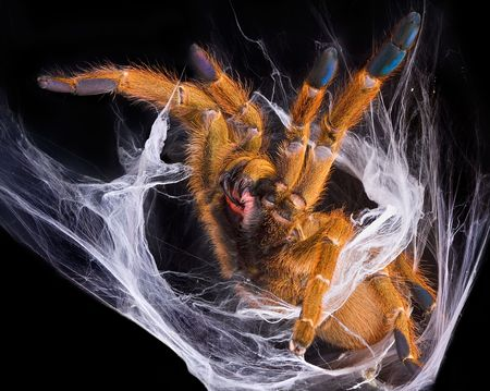 An OBT tarantula is showing her fangs in defense of her web.