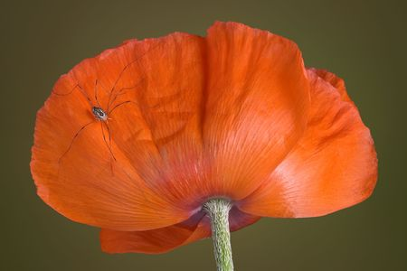 daddy long legs: A daddy long legs spider is perched on a poppy.