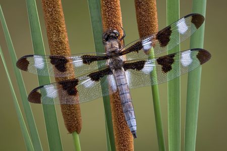 A dragonfly has landed on a group of cattails.