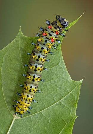 A cecropia caterpillar is crawling on a leaf in summer. Stock Photo