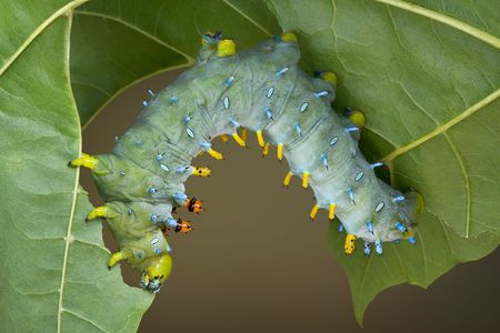 munching: A cecropia caterpillar is munching on a maple leaf in summer.