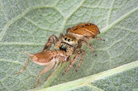 A tiny jumping spider has caught a cricket and is eating it while sitting on a leaf. Stock Photo - 7453018