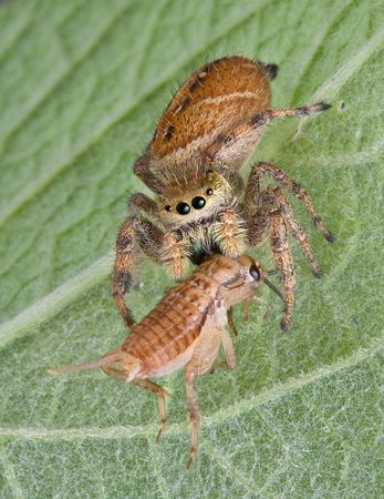 A tiny jumping spider has caught a cricket and is eating it while sitting on a leaf. Stock Photo - 7450724