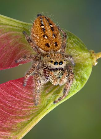 A tiny jumping spider is sitting on a seed pod. photo