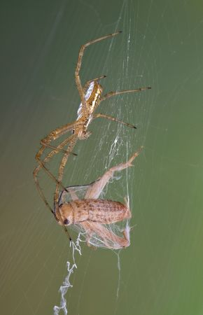 An argiope spider has caught a cricket in its web.