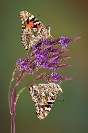 Two painted lady butterflies are perched on verbain and look like mirror images of each other. Stock Photo - 7450732