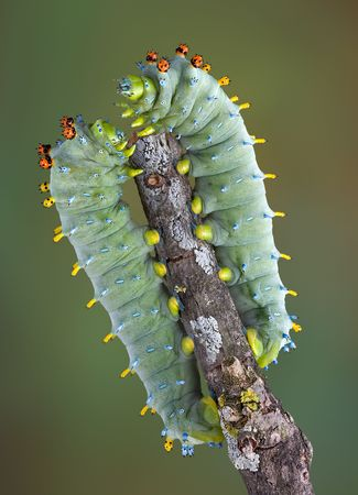 Two cecropia caterpillars are sitting on opposite sides of a branch.