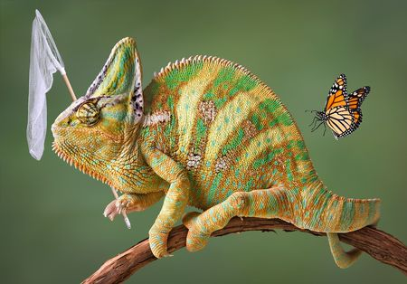 A veiled chameleon is trying to catch some butterflies. Stock Photo - 7527706