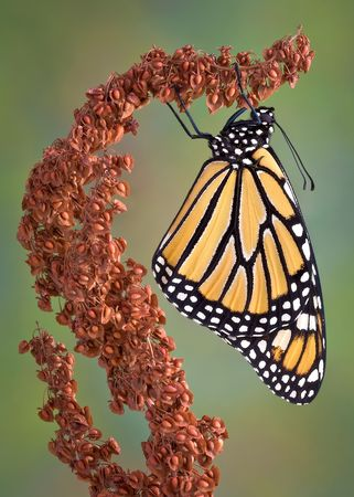 lepidoptera: A monarch is hanging from a dried weed.