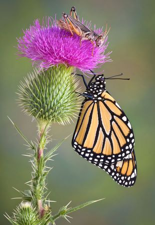A monarch is hanging on to a bull thistle with a grasshopper on top. Stock Photo - 7527693
