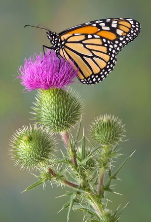 A monarch is perched high on top of some bull thistle. Stock Photo - 7527710