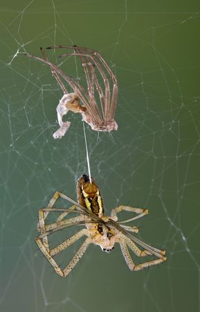 recently: An argiope spider is hanging from its recently shed skin.