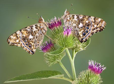 Two painted lady butterflies are perched on a burdock plant. Stock Photo