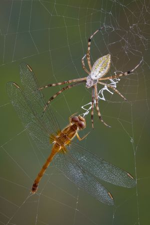 An argiope spider has caught a dragonfly in its web. Stock Photo