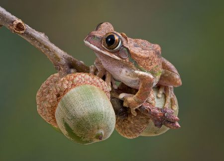 A big-eyed tree frog is sitting on some acorns from an Oak tree.