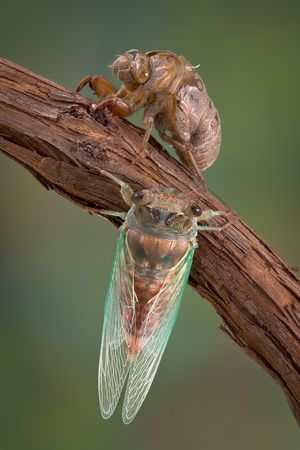 emerged: A newly emerged cicada sits on a branch next to an empty cicada nymph shell.
