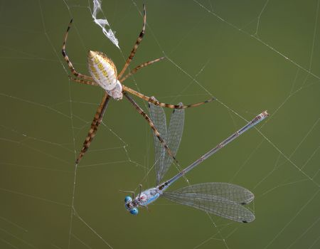 An argiope spider has caught a damselfly in it's web. Stock Photo - 7630149