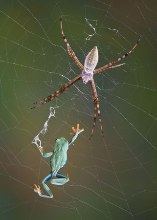 argiope: An argiope spider appears to have caught a red-eyed tree frog in its web.