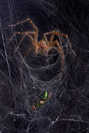 A funnel web spider is moving toward a fly in his web.