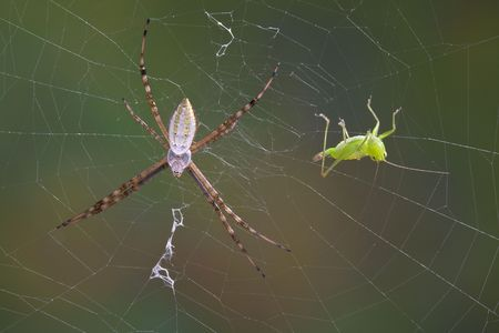 An argiope spider has caught a grasshopper in it's web. Stock Photo - 7630166