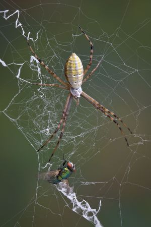 argiope: An argiope spider has caught a fly in its web. Stock Photo
