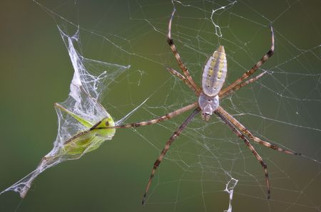 An argiope spider has caught a grasshopper in it's web and wrapped it in silk. Stock Photo - 7630167