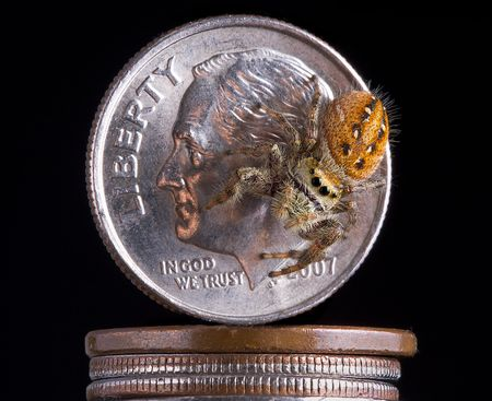 dime: A jumping spider is sitting on a dime.