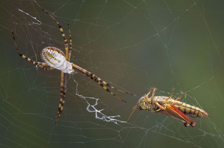argiope: A banded argiope spider has caught a grasshopper in its web.
