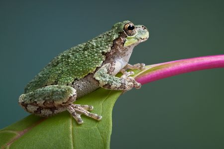 A baby grey tree frog is perched on a branch of pokeweed
