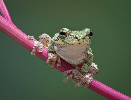 A baby grey tree frog is perched on a branch of pokeweed. Stock Photo