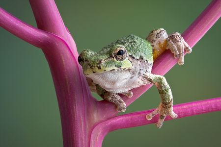 A baby grey tree frog is leaning forward while sitting on a pokeweed plant.