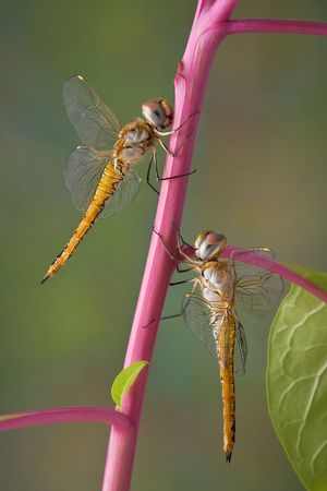 Two dragonflies are both hanging on to the same pokeweed stem